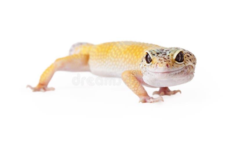 Guling krönad gecko royaltyfri bild
