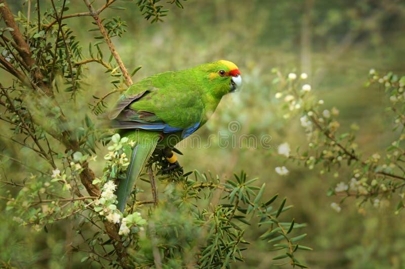 Guling-krönad parakiter - kakariki - Cyanoramphus auriceps som matar i busken i Nya Zeeland fotografering för bildbyråer