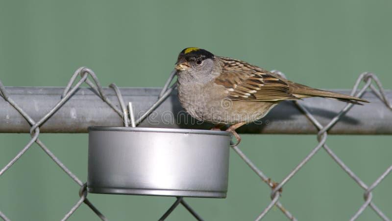 Guling krönad sparv i hem- gjord trädgård lös fågelförlagematare arkivbild