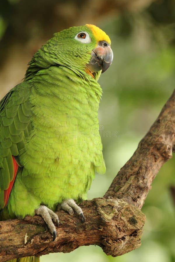 Guling-krönade amazon eller denkrönade papegojaAmazonaochrocephalaen är art av papegojan royaltyfri foto