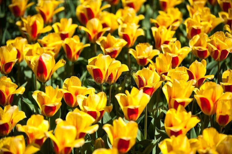 Guling med röda tulpan i Keukenhof parkerar, blommaträdgården, Holland arkivbilder