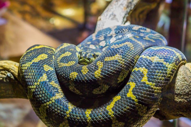 Guling med svart som rullas ihop upp ormen på en filial, closeup av en tropisk reptil royaltyfria foton