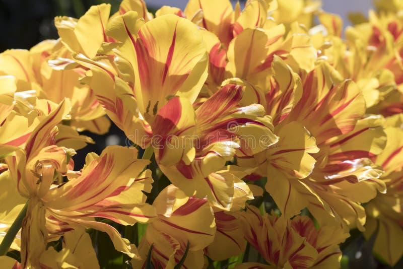 Guling nyanserade tulpan i ett fält royaltyfri foto
