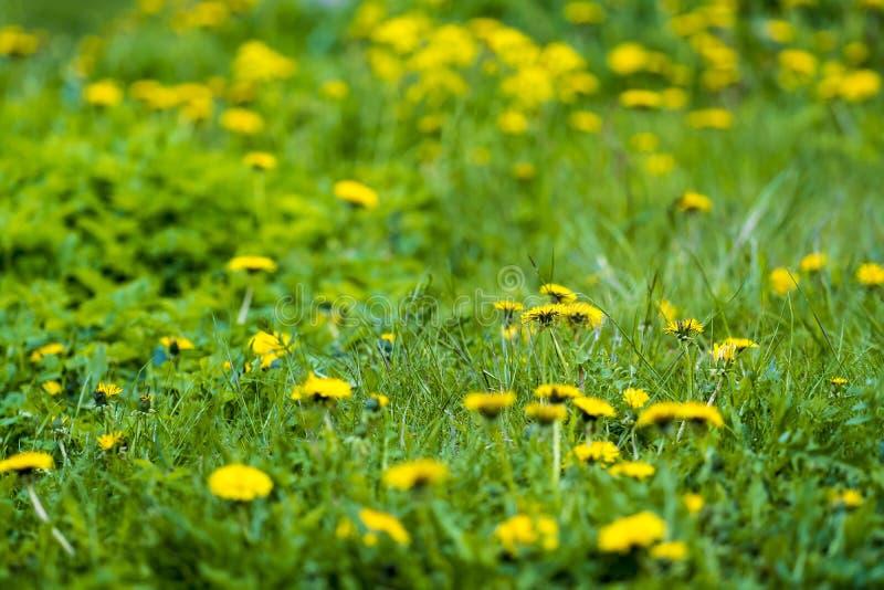 Guling och gräsplan royaltyfri bild