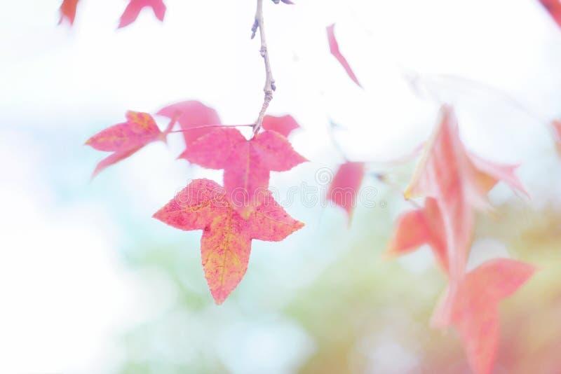 Guling och orange sidor av den dekorativa växten i höst royaltyfria foton