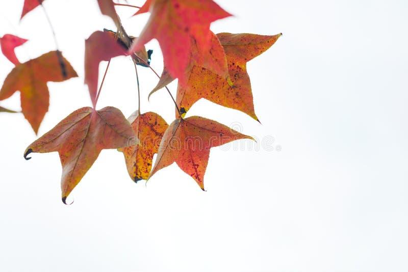 Guling och orange sidor av den dekorativa växten i höst på vit bakgrund fotografering för bildbyråer