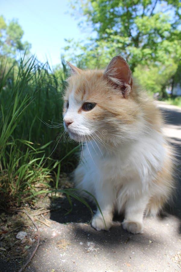 Guling-och-vit katt i sökande av hans favör arkivbilder