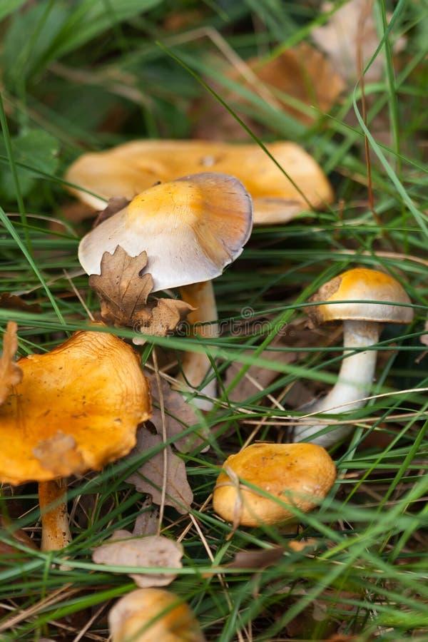 Guling plocka svamp i gräs royaltyfri foto