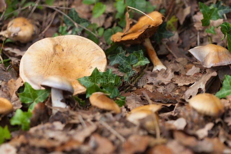 Guling plocka svamp i skog fotografering för bildbyråer