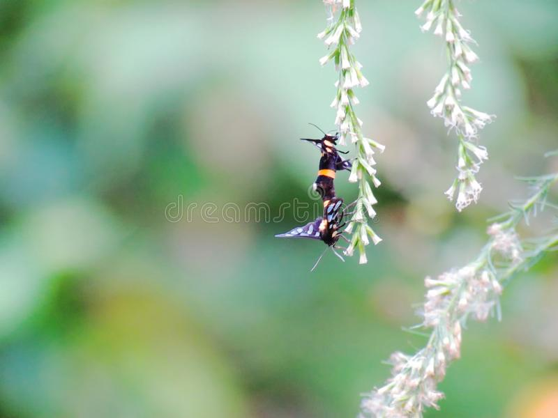 Guling-ringed gräsmalar, Amata sperbius Fabricius eller tigerG royaltyfri bild