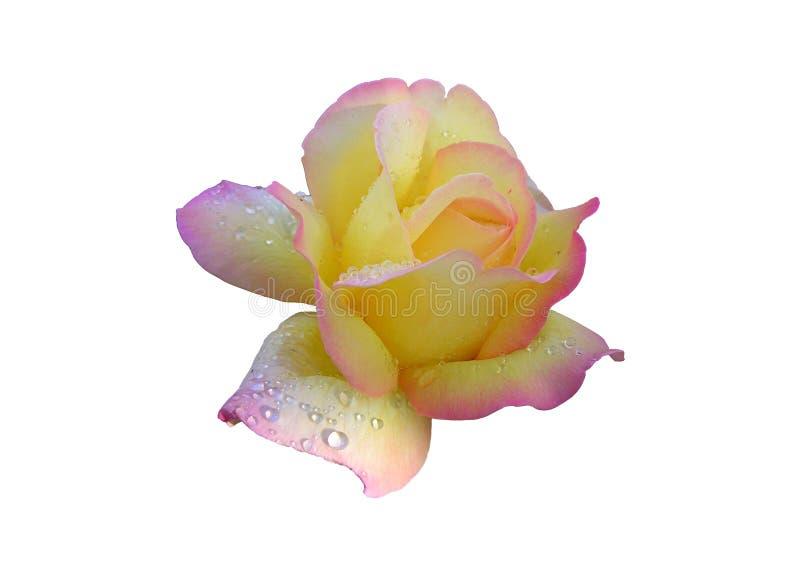 Guling-rosa färger ros royaltyfri fotografi