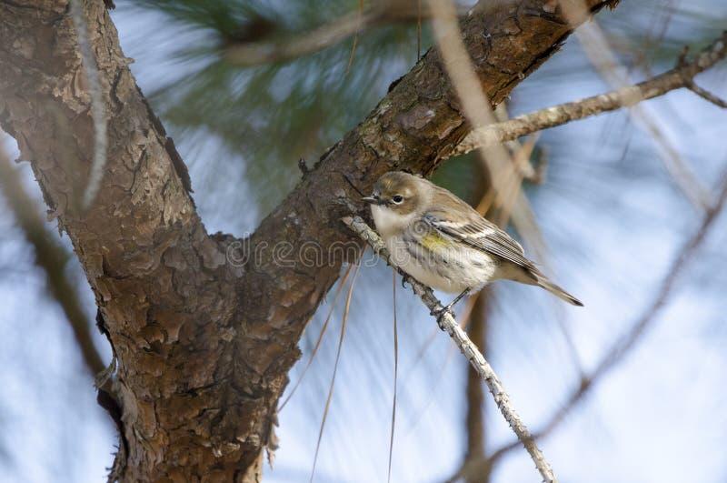 Guling-rumpedsångaresångfågel, Aten, Georgia USA fotografering för bildbyråer