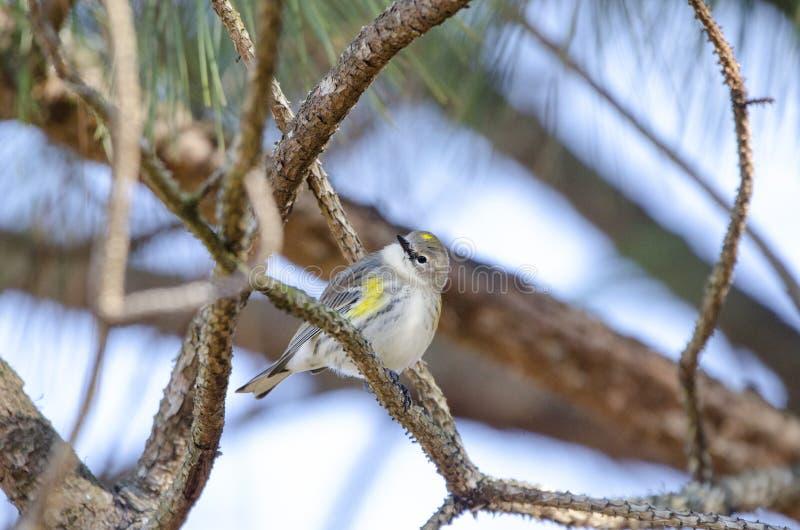 Guling-rumpedsångaresångfågel, Aten, Georgia USA royaltyfria bilder