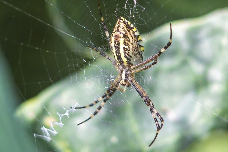 Guling-svart orb-vävare spindel Argiope Bruennichi eller Wasp-spindeln på rengöringsduken, spindelnät mot grön naturlig bakgrund royaltyfri bild