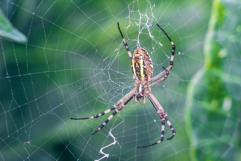 Guling-svart orb-vävare spindel Argiope Bruennichi eller Wasp-spindeln på rengöringsduken, spindelnät mot grön naturlig bakgrund, arkivfoton