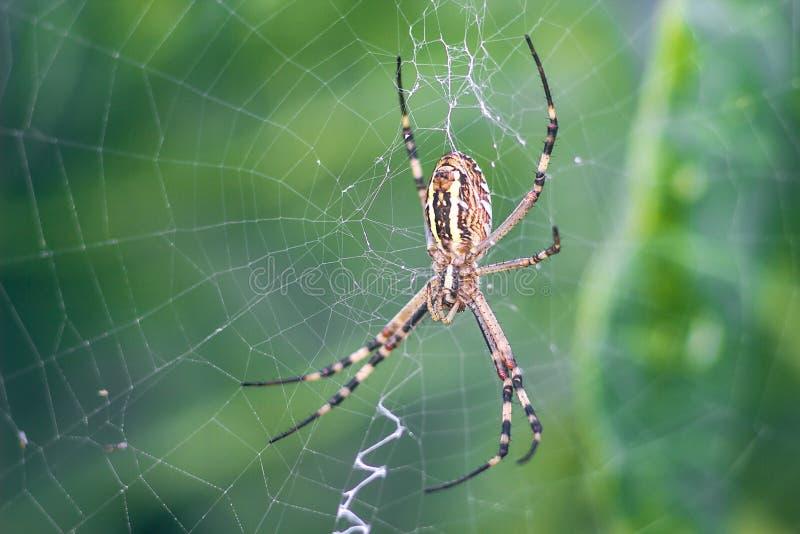 Guling-svart orb-vävare spindel Argiope Bruennichi eller Wasp-spindeln på rengöringsduken, spindelnät mot grön naturlig bakgrund, royaltyfria bilder