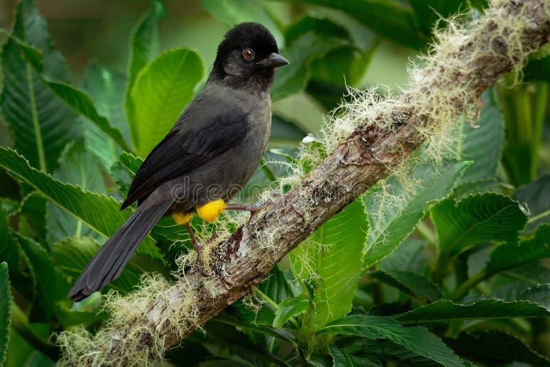 Guling-thighedfink - Pselliophorus tibialis är den passerine fågeln som är endemisken till högländerna av Costa Rica och västra P arkivfoton