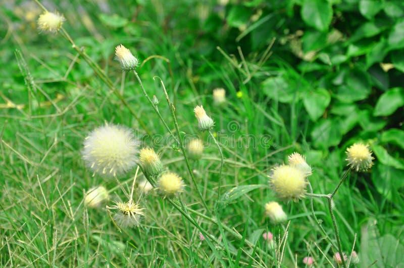 Guling-tistel blommor och grönt gräs arkivbilder