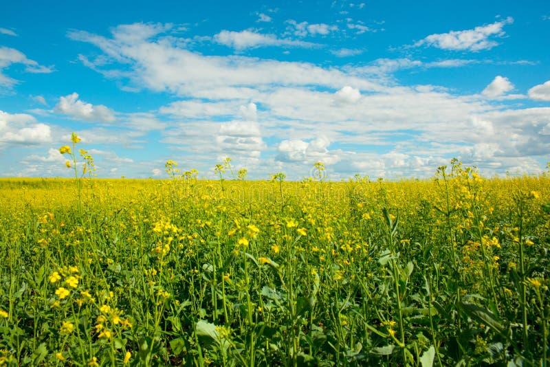 Guling våldtar blommor på fältet och den blåa himlen med moln royaltyfria foton