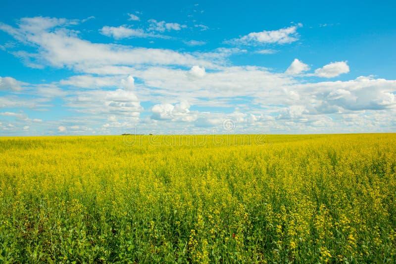 Guling våldtar blommor på fältet och den blåa himlen med moln royaltyfri bild
