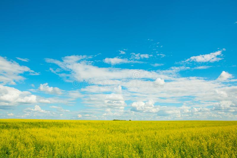 Guling våldtar blommor på fältet och den blåa himlen med moln royaltyfri fotografi