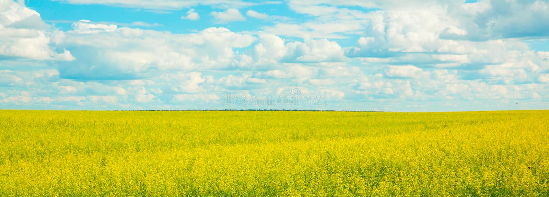 Guling våldtar blommor på fältet och den blåa himlen med moln royaltyfri foto