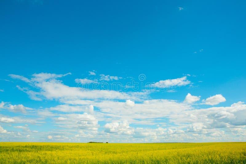 Guling våldtar blommor på fältet och den blåa himlen med moln arkivbild