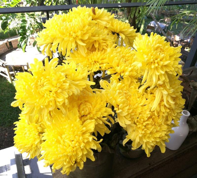Gulingblommor av krysantemumet i trädgård på solig dag, den härliga blomma inlagda morblomman dekorerar på trätabellen, closeu royaltyfri foto