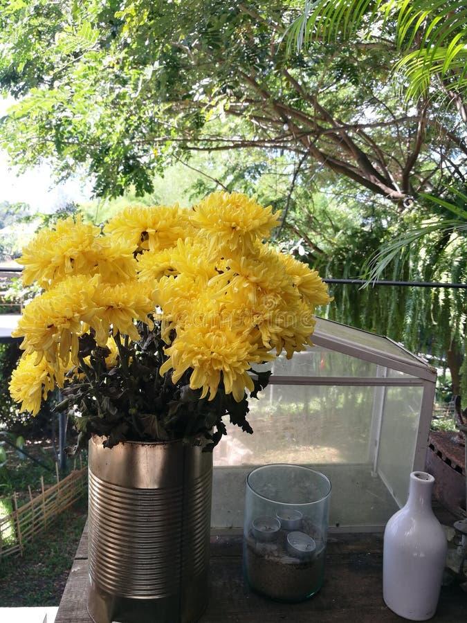 Gulingblommor av krysantemumet i trädgård på solig dag, den härliga blomma inlagda morblomman dekorerar på trätabellen, foregr royaltyfria foton