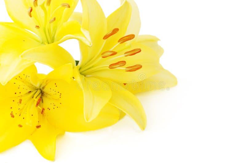 Gulingblommor av liliumen royaltyfria bilder