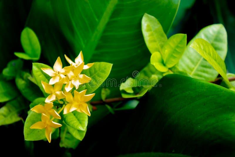 Gulingblommor eller Ixora chinensis Lam på en grön bakgrund arkivfoto