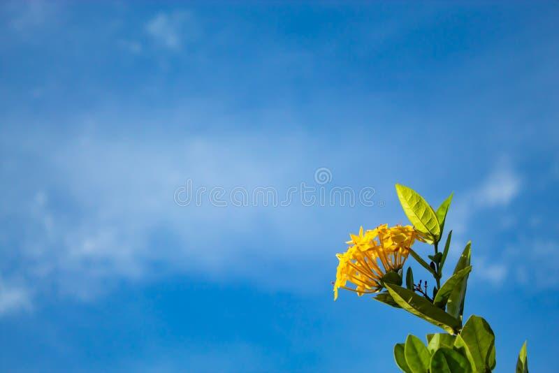 Gulingblommor eller Ixora chinensis Lam på en himmelbakgrund royaltyfri bild