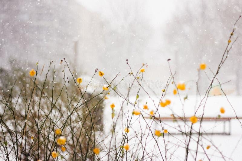 Gulingblommor och vitt snöfall i Berlin fotografering för bildbyråer