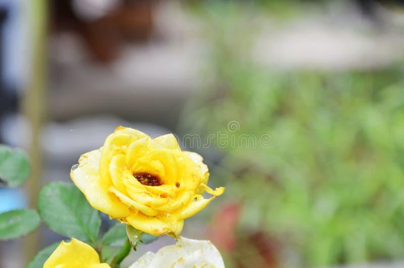 Gulingros som blommar i trädgård fotografering för bildbyråer