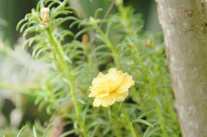 Gulingrosmossa som blommar i trädgård fotografering för bildbyråer