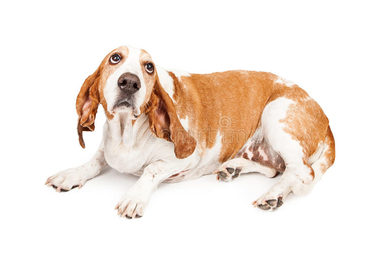 Gulity Basset Hound Dog. A Basset Hound dog laying and looking up with a sad expression as he is bing punished stock photos