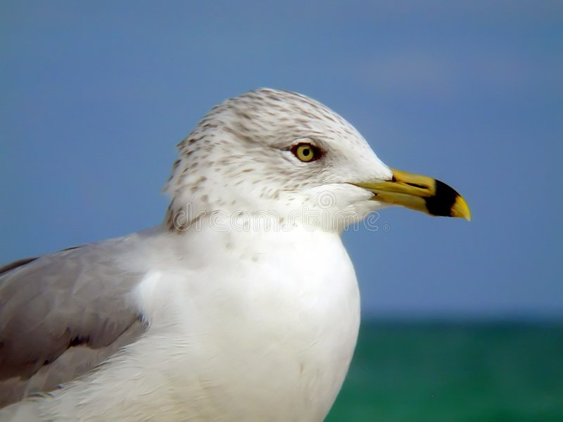Download Gull stock image. Image of feather, feathers, sand, beach - 4963