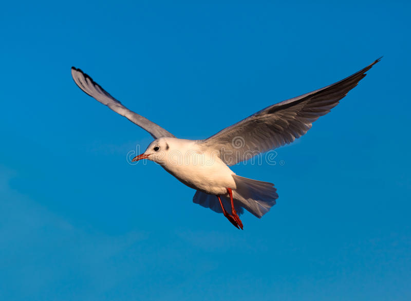 Download Gull stock image. Image of nature, baltic, airborne, bird - 19513055