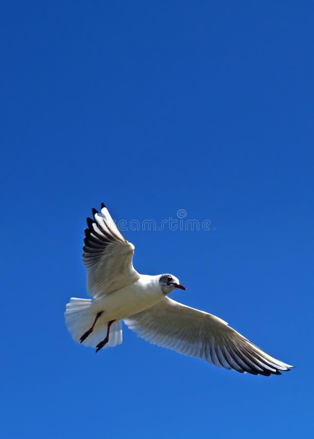 Gull stock photography