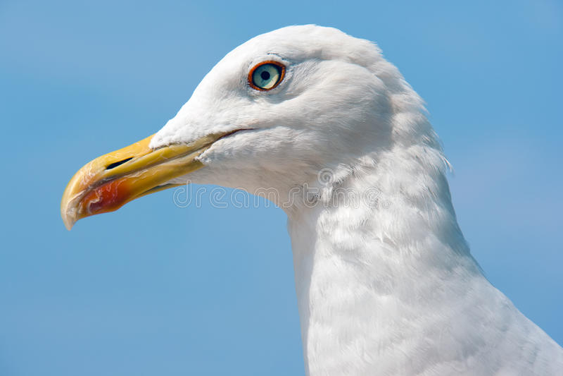Gull Royalty Free Stock Image
