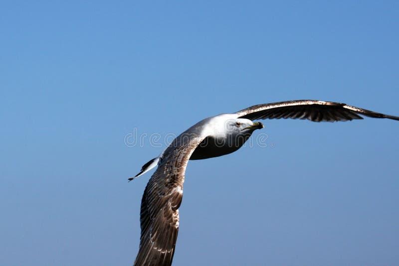Download Gull stock photo. Image of bird, freedom, animal, gull - 24510456