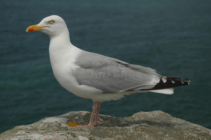 Download Gull stock photo. Image of froth, landscape, feathery - 26445866