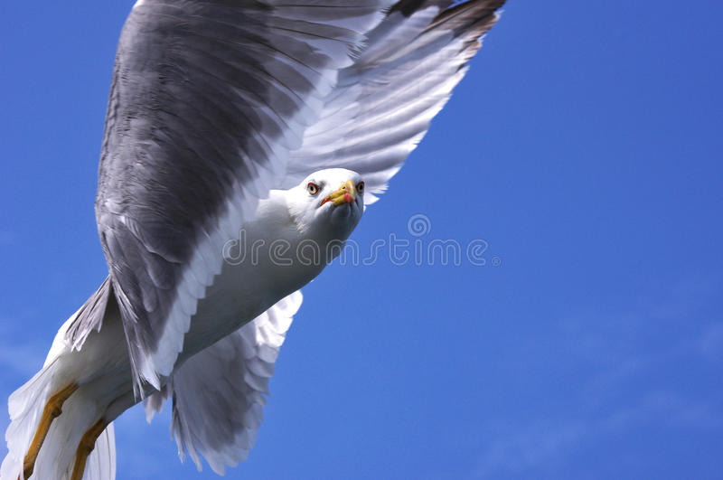 Download Gull Royalty Free Stock Images - Image: 26571689