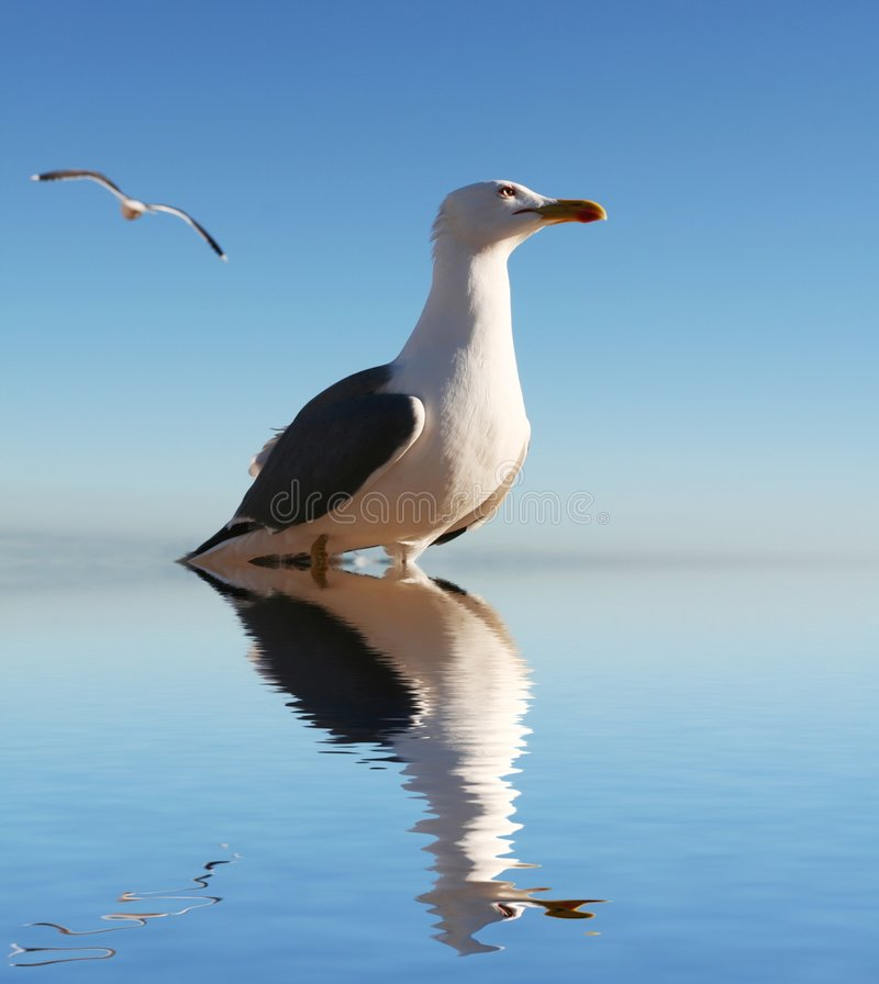 Free Gull Royalty Free Stock Photos - 4030708