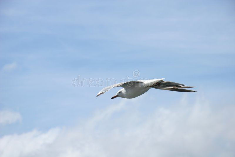 Download Gull Royalty Free Stock Photography - Image: 62977