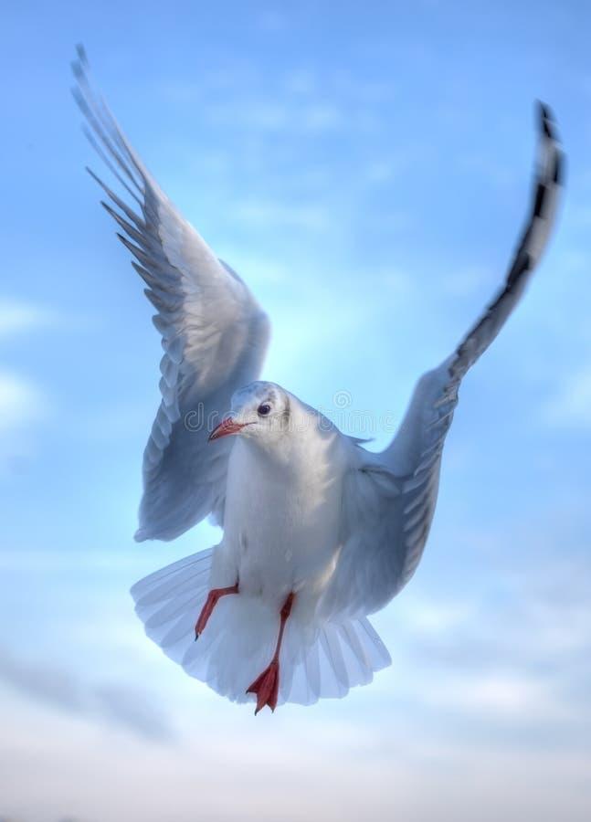 Free Gull Royalty Free Stock Photo - 7720605