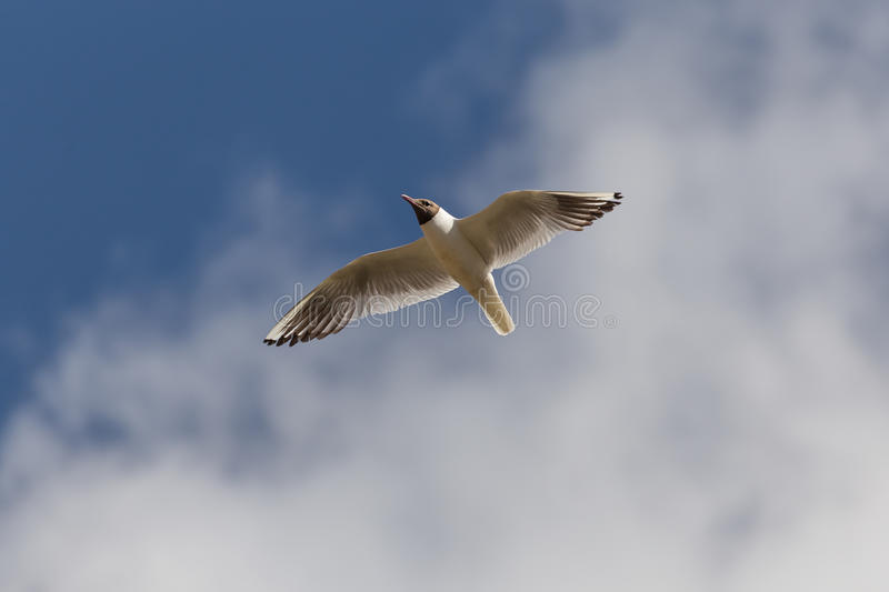 Gull on the background of clouds royalty free stock photos