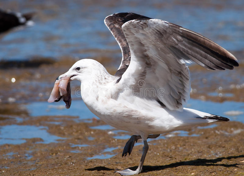 Gull with bait