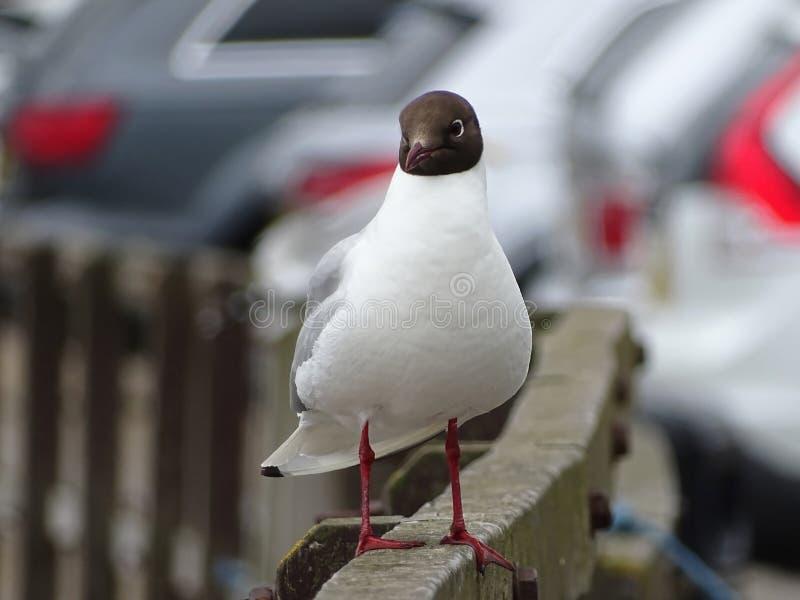 Gull At The Beach Newburgh stock image