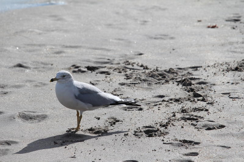Gull on the beach royalty free stock images
